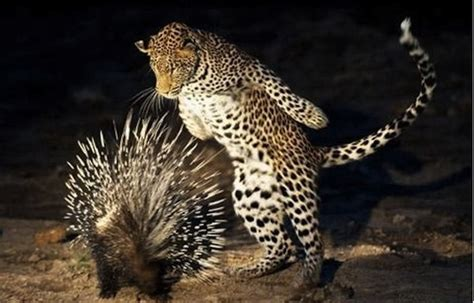 Gallery of the Most Cringeworthy Porcupine Accidents