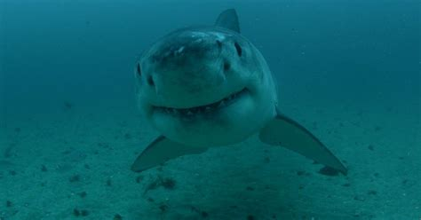 Could The Megalodon Really Exist? Many Have Theorized