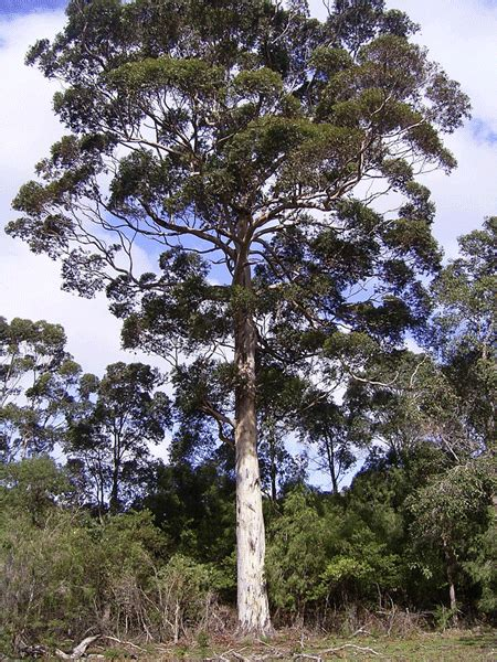 Karri | Forest Products Commission