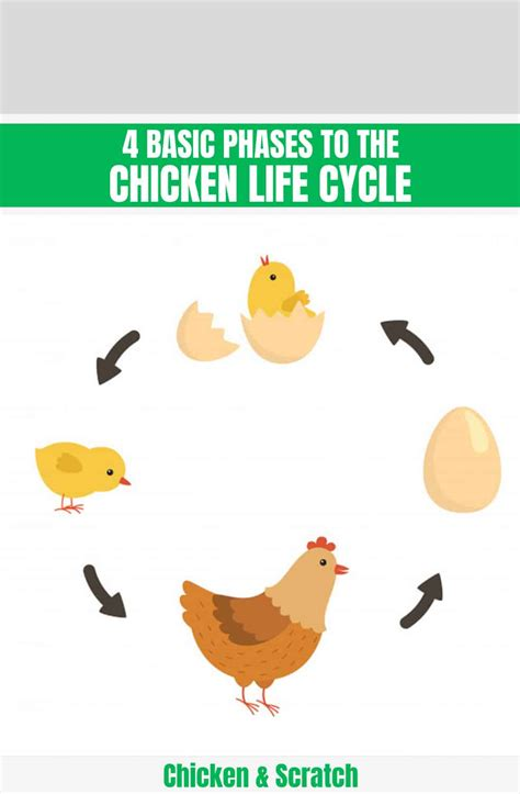 4 Basic Phases to the Chicken Life Cycle