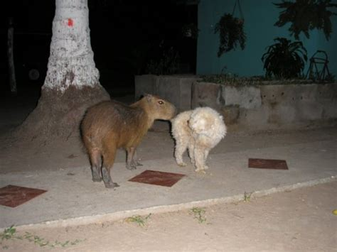 Pet capybara in our camp, trying to befriend the dogs | Photo
