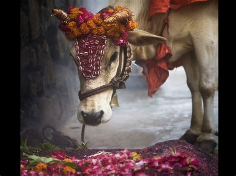Why Hindus Don't Eat Beef? - Boldsky
