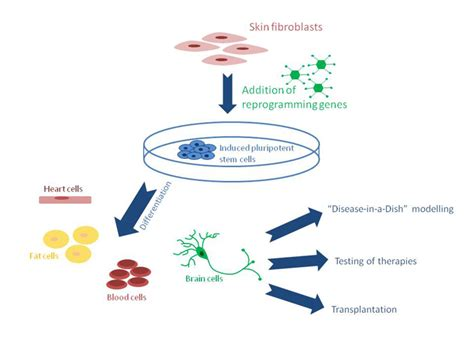 Induced Pluripotent Stem Cells | Stem Cell Research Initiative