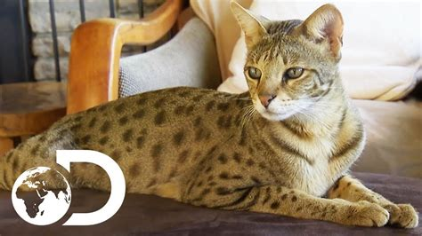 The Savannah: The Largest Domestic Cats in the World