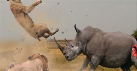 Mad Rhino Takes On A Pack Of Lions In a Battle That's Too