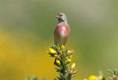Linnet Conservation   Advice For Farmers - The RSPB