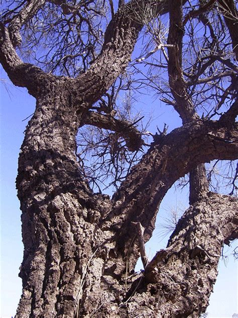 Corkwood | Forest Products Commission